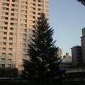 母校のモミの木