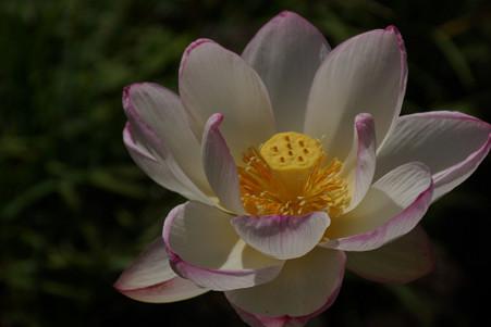 蓮の花、満開!