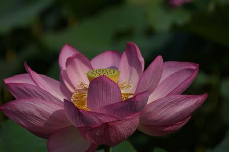 4蓮の花0729d