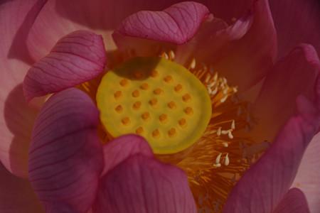 5蓮の花0729e