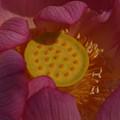 写真: 5蓮の花0729e