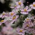 Photos: 秋明菊がいっぱい!