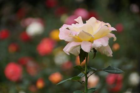 クリーム色の秋バラ!