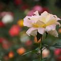 Photos: クリーム色の秋バラ!