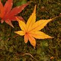 Photos: モミジの紅葉と黄葉!20121125