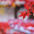 Photos: 真赤なモミジ葉!2012