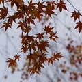 Photos: 冬モミジの清涼感!