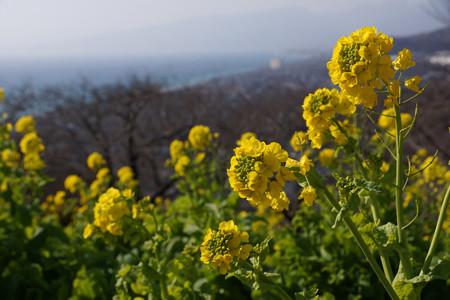 菜の花と相模湾!2013