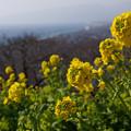 写真: 菜の花と相模湾!2013