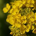 写真: 菜の花をアップで2!2013
