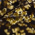 Photos: ロウバイの花が輝く2!201301