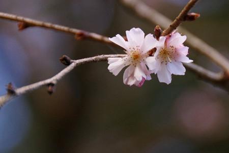 可憐な冬桜が残る!201301
