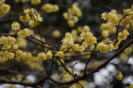 黄色のロウバイ満開!201302