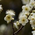 Photos: 白梅のしべがすてき!20130216