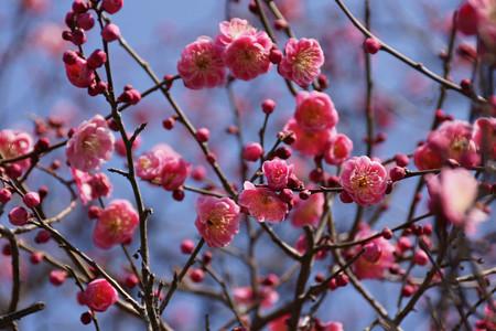 ピンクの梅が見頃に!201302