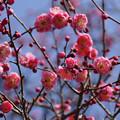写真: ピンクの梅が見頃に!201302