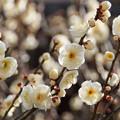 写真: 白梅はいっぱい咲いた!201302