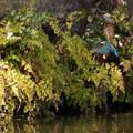 写真: カワセミのホバリング!20130223