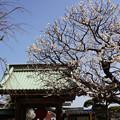 Photos: 山門の白梅!130302