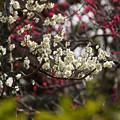Photos: 紅白の梅の競演!130302