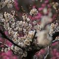 Photos: 紅白の梅の競演2!光則寺