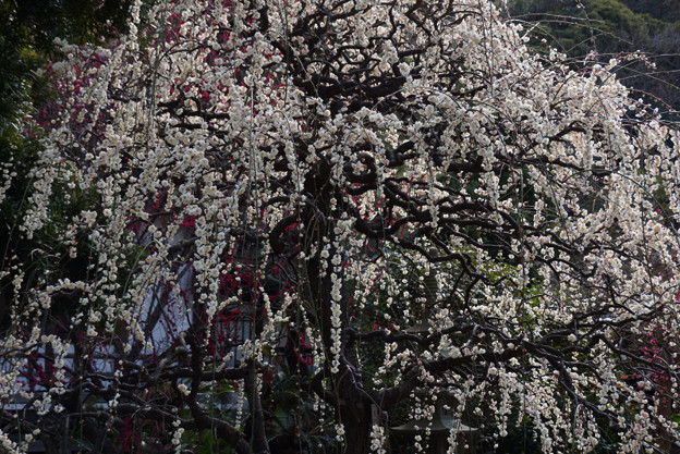 枝垂れ梅が満開に!130302