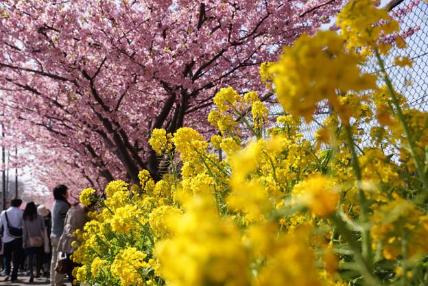 菜の花と河津桜!130309