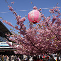 Photos: 河津桜まつり、三浦海岸!20130309