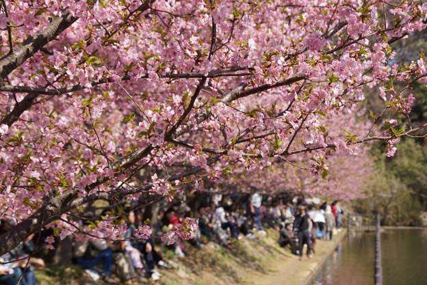 河津桜の花見、小松ヶ池!130309
