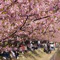 Photos: 河津桜の花見、小松ヶ池!130309