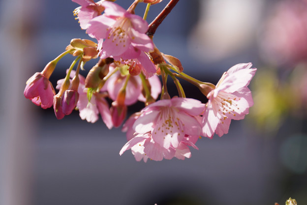 Photos: 河津桜が見頃に2!130309