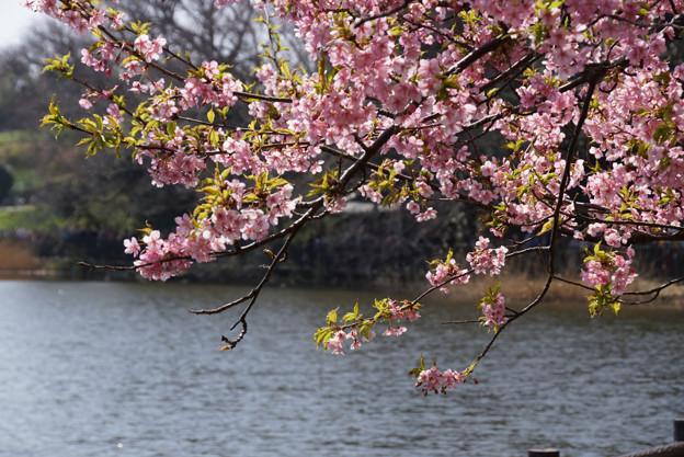 河津桜の花見、小松ヶ池2!130309