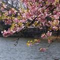 Photos: 河津桜の花見、小松ヶ池2!130309