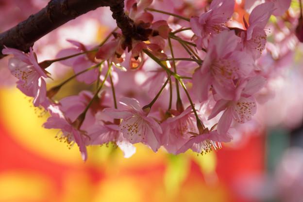 河津桜が見頃に3! 130309