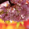Photos: 河津桜が見頃に3! 130309
