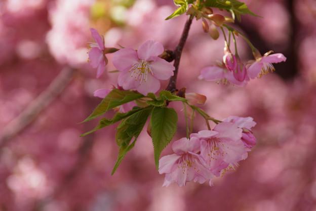 河津桜が見頃に4! 130309