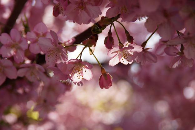 河津桜の蕾を発見!130309