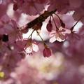 写真: 河津桜の蕾を発見!130309