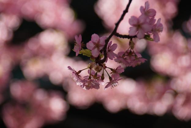 河津桜の枝ぶり!130309