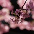 写真: 河津桜の枝ぶり!130309