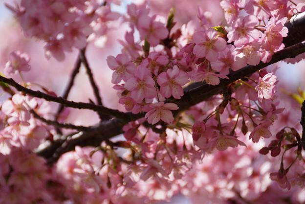 満開になった河津桜!130309