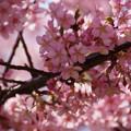 写真: 満開になった河津桜!130309