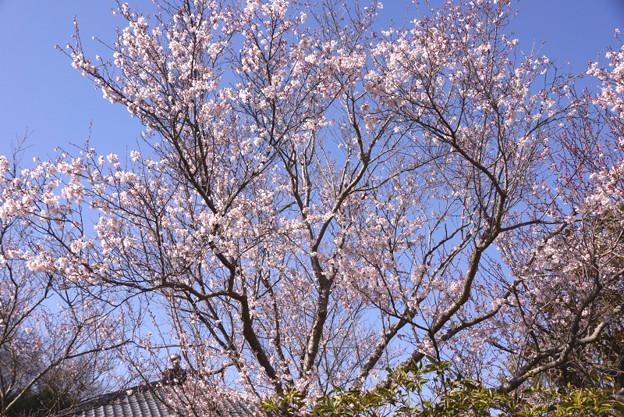 彼岸桜が見頃に、北鎌倉!130316