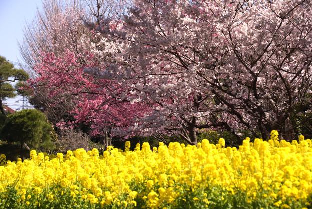 早咲きの桜と菜の花畑!
