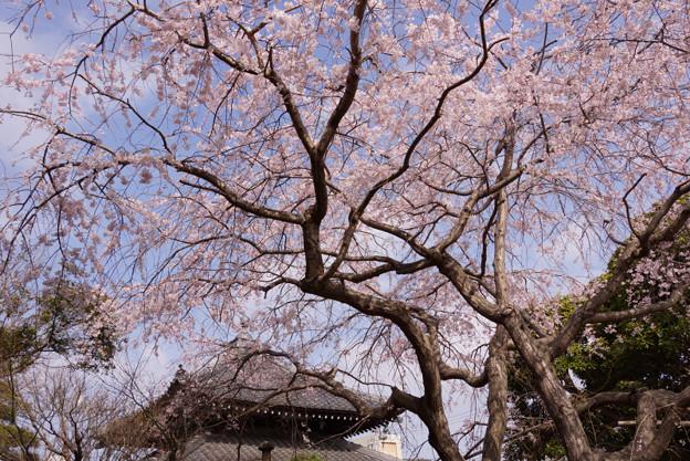 満開のシダレ桜、本覚寺! 130320