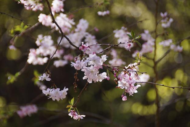 十月桜が春に咲いてます!130322