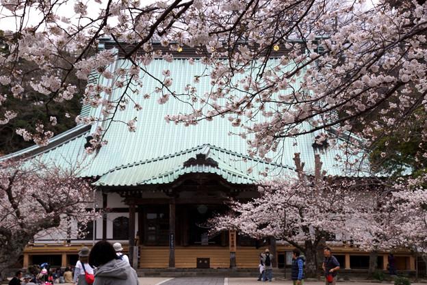 鎌倉最大の本堂にも桜!130323
