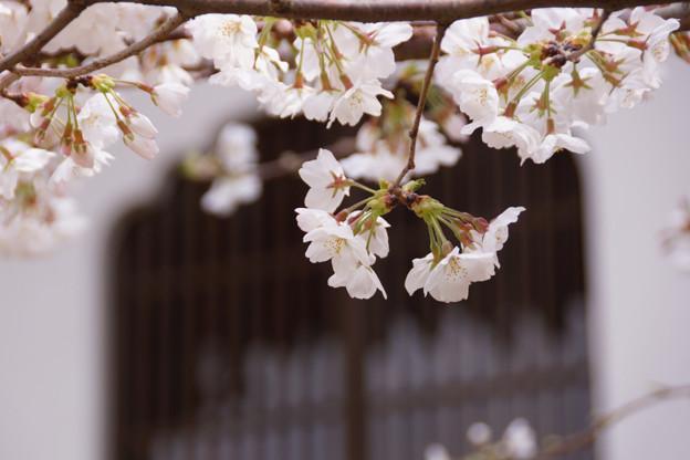 火頭窓と桜!130323
