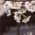 写真: 花想窓と桜!130323
