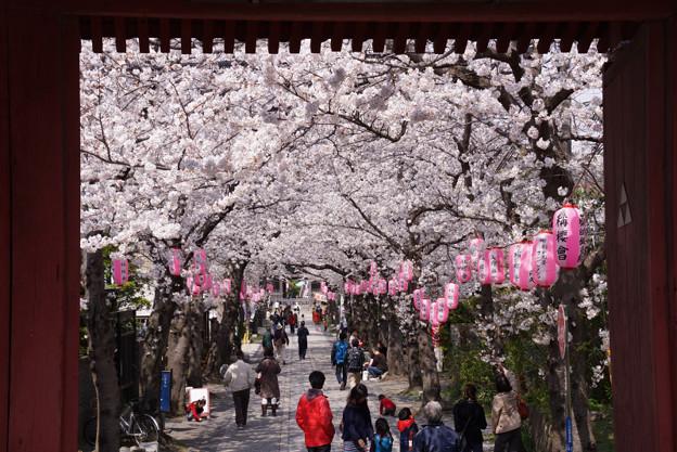 写真: 赤門の中、桜の参道!2013春